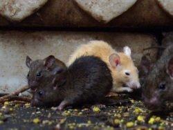 Крысы и мыши самые близкие соседи и самые заклятые враги человека